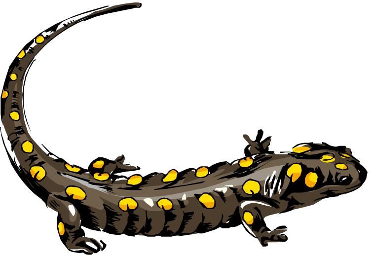 Amphibian clipart spotted Spotted KiDOinfo: salamander Size kids