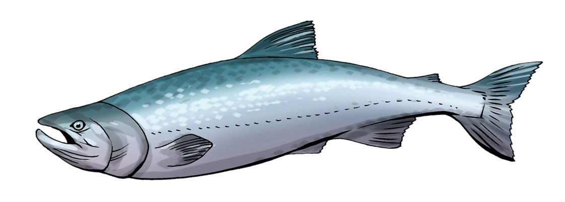 Salmon clipart Salmon to free clipart images