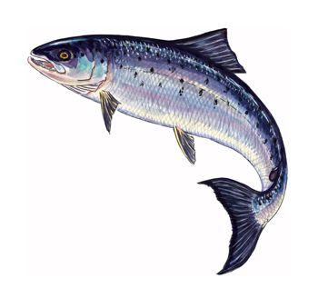 Salmon clipart small fish #14