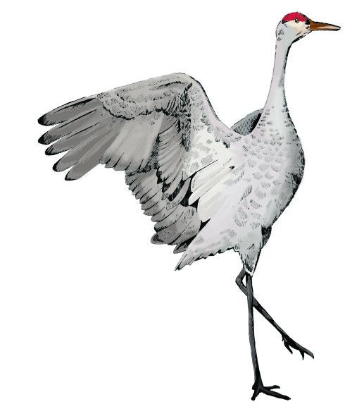 Sandhill Crane clipart Critter the Clipart for crane