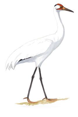 Sandhill Crane clipart crane bird #4