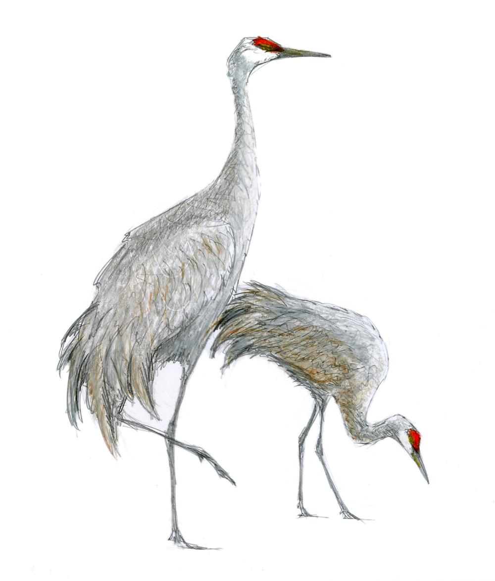 Sandhill Crane clipart crane bird #3