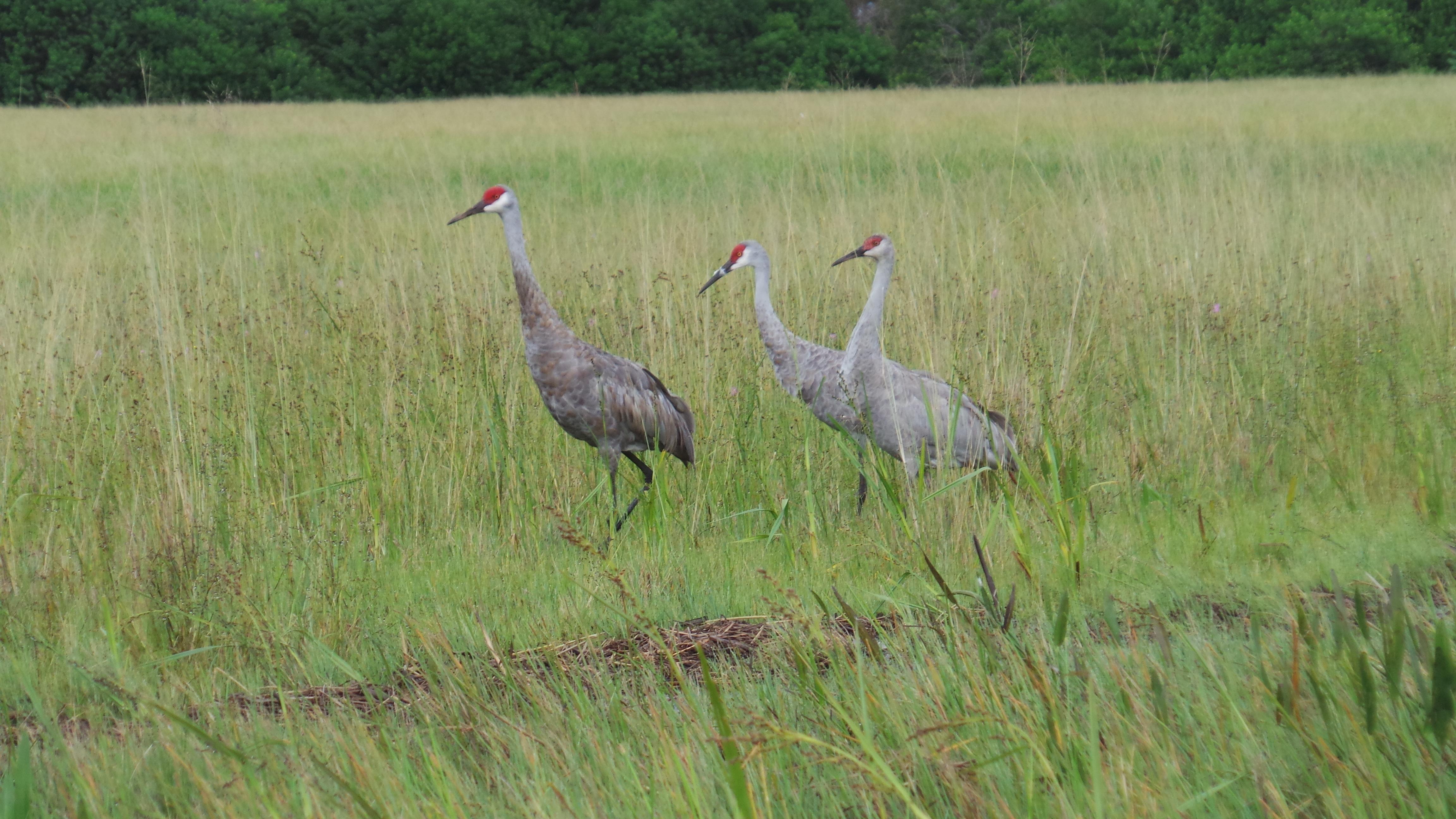 Sandhill Crane clipart swamp grass #6