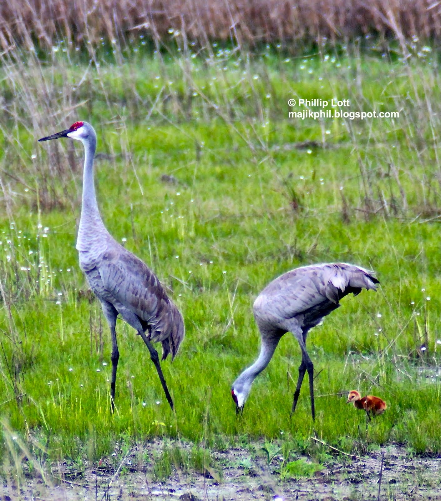 Sandhill Crane clipart swamp grass #5