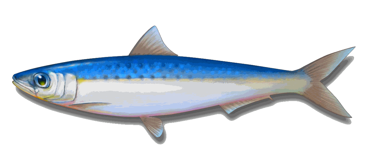 Sardine clipart 0 Hunt Diamond Online