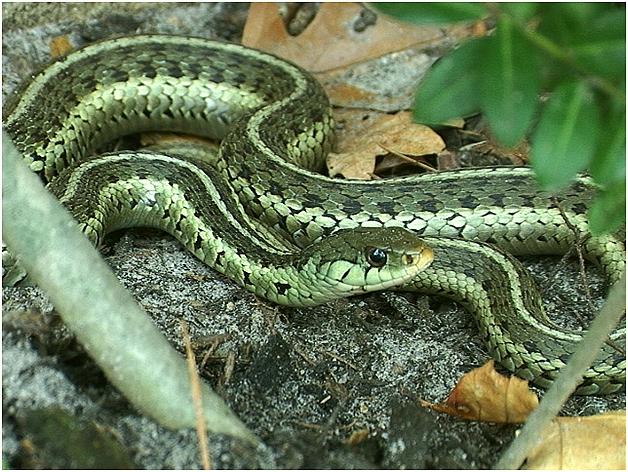 Satan clipart snake in grass Very non Garter Greek Mythology