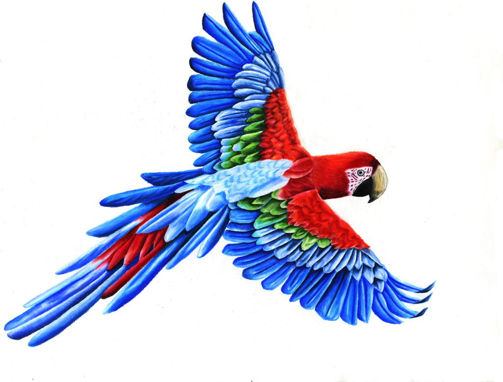 Scarlet Macaw clipart #8