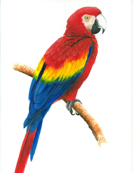 Scarlet Macaw clipart #10