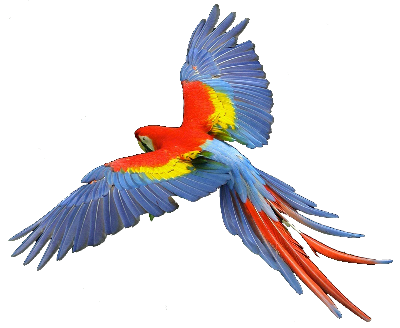 Scarlet Macaw clipart #5