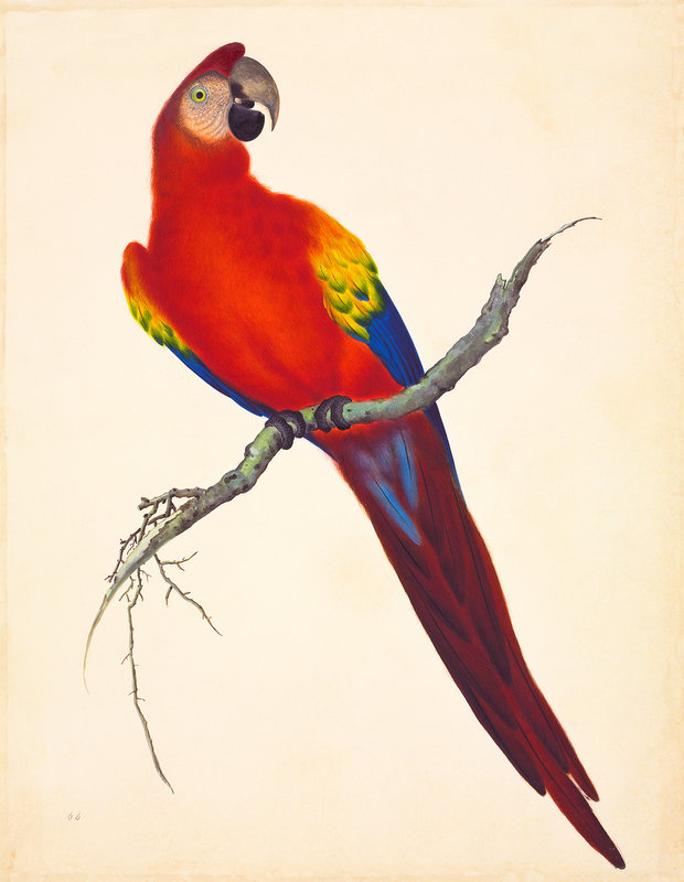 Scarlet Macaw clipart drawing #6