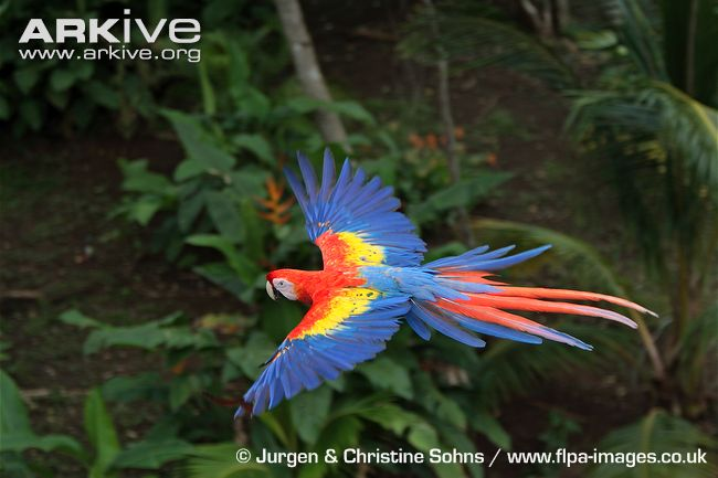 Scarlet Macaw clipart flight #1