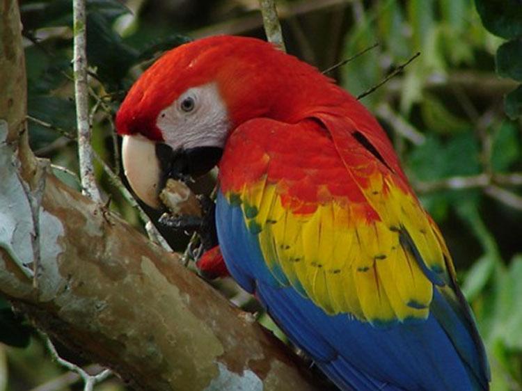 Scarlet Macaw clipart scarlett #11