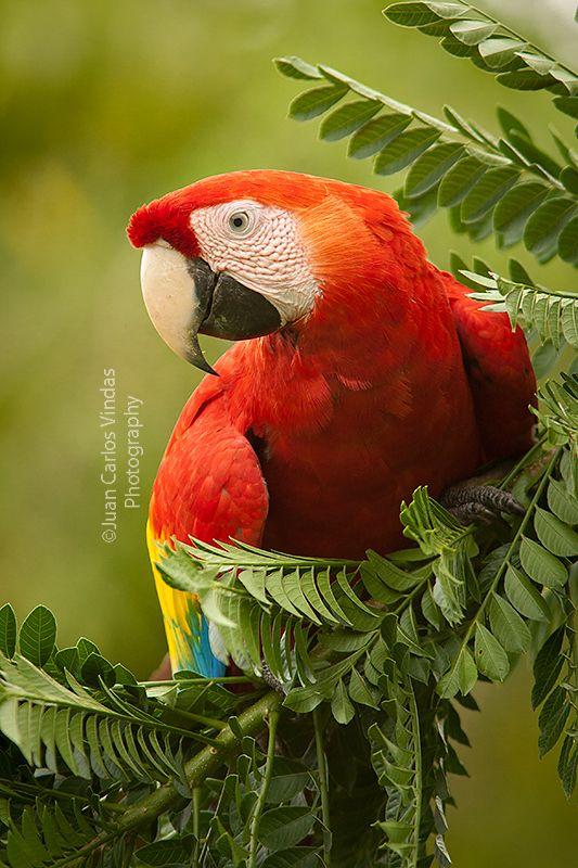Scarlet Macaw clipart tropical bird #7