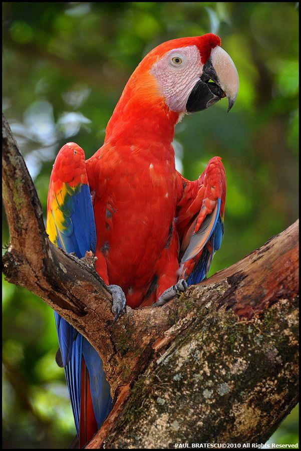 Scarlet Macaw clipart tropical bird #14