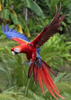 Scarlet Macaw clipart tropical bird #9