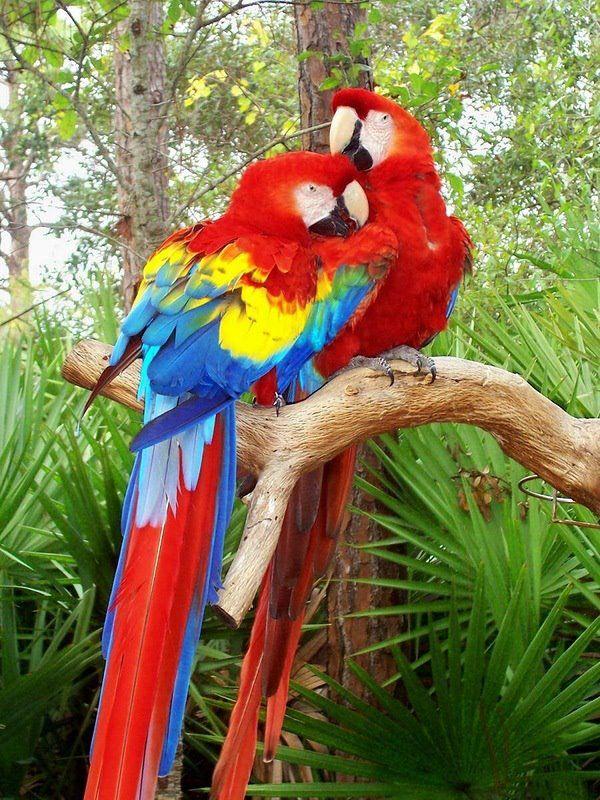 Scarlet Macaw clipart tropical bird #13