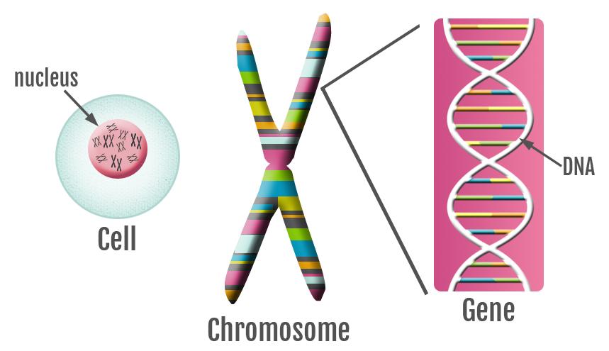 Science clipart gene Science Genes genes 5A genes