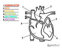 Science clipart heart #13