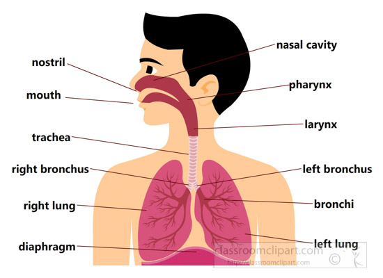 Science clipart respiratory system Results chart system From: Size:
