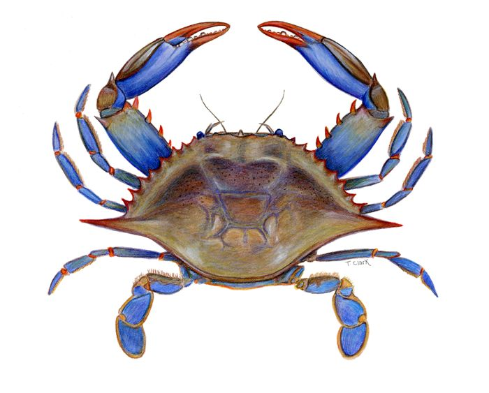 Crustacean clipart udang Pinterest best clipart Comic Search