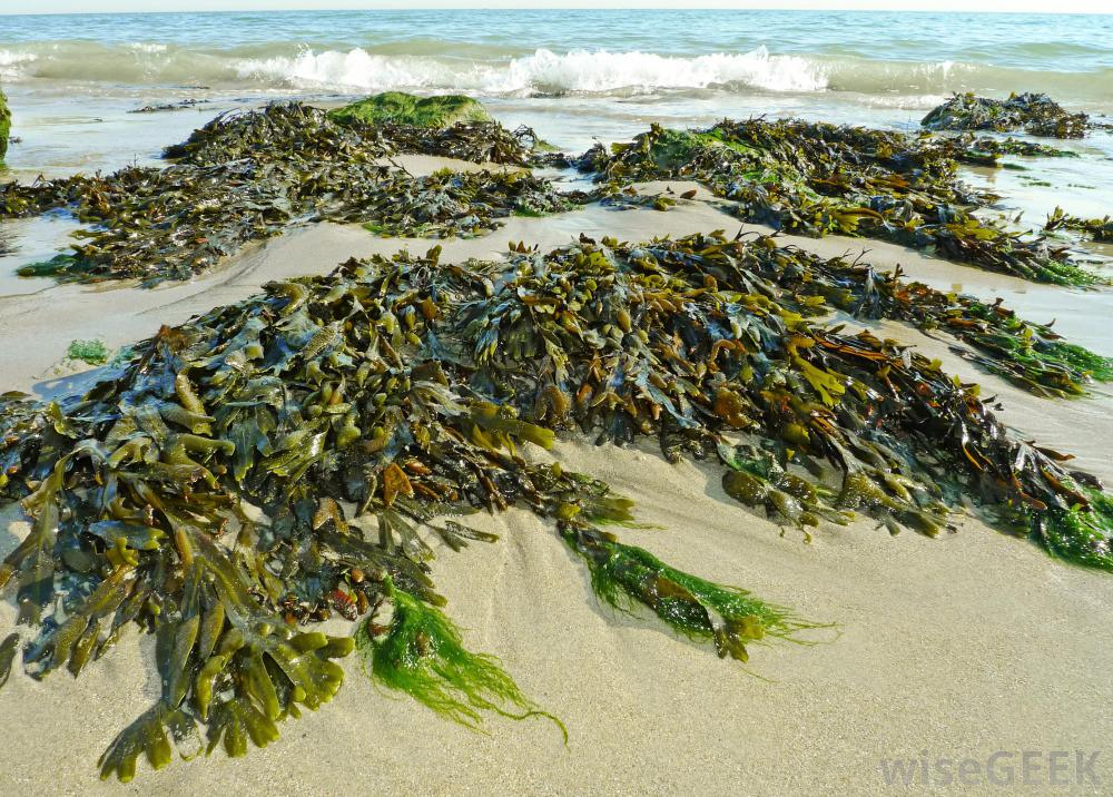 Seaweed clipart long #5