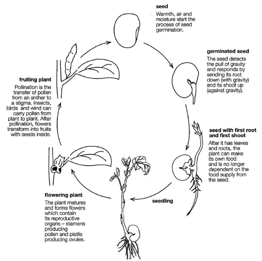Seed clipart plant life cycle A of pixels Life Life