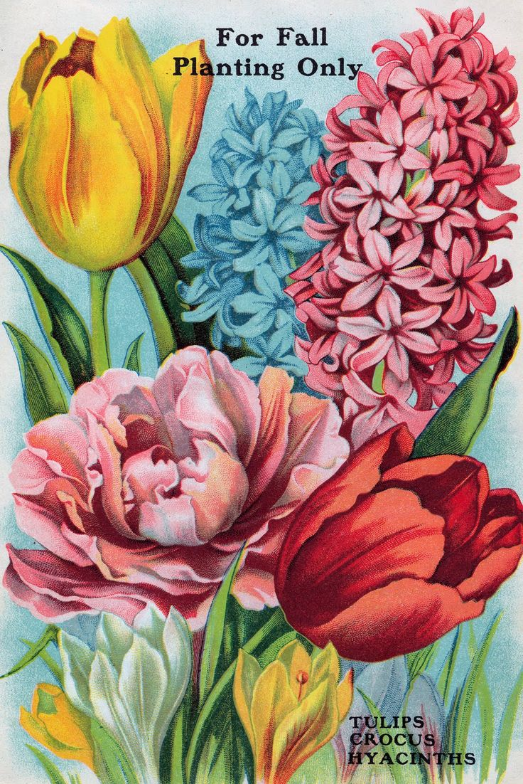 Hyacinth clipart Vintage seeds Seed Catalogs about