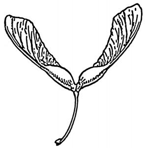 Seed clipart outline Download Seeds Art Seeds Samara