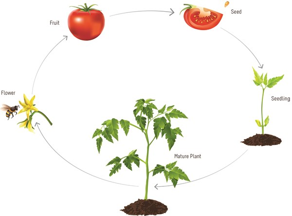 Cherry Tomato clipart pepper plant Of Figure starts seeds and