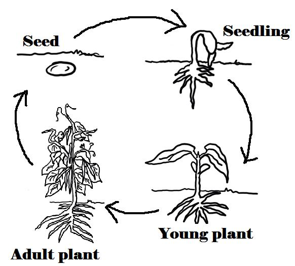 Seed clipart plant life cycle Class Blog Life Plant 6