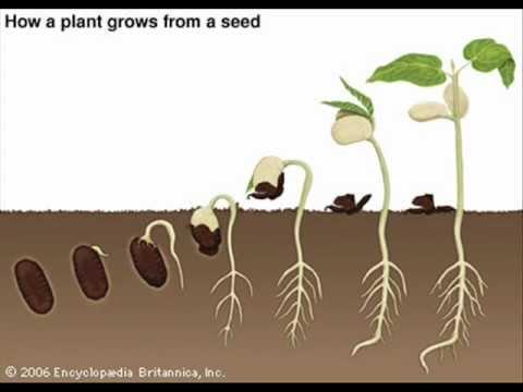 Seeds clipart seed germination Free Art Process Clip Art