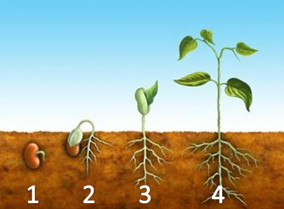 Seeds clipart stage The 3 Seed Warmth germinate
