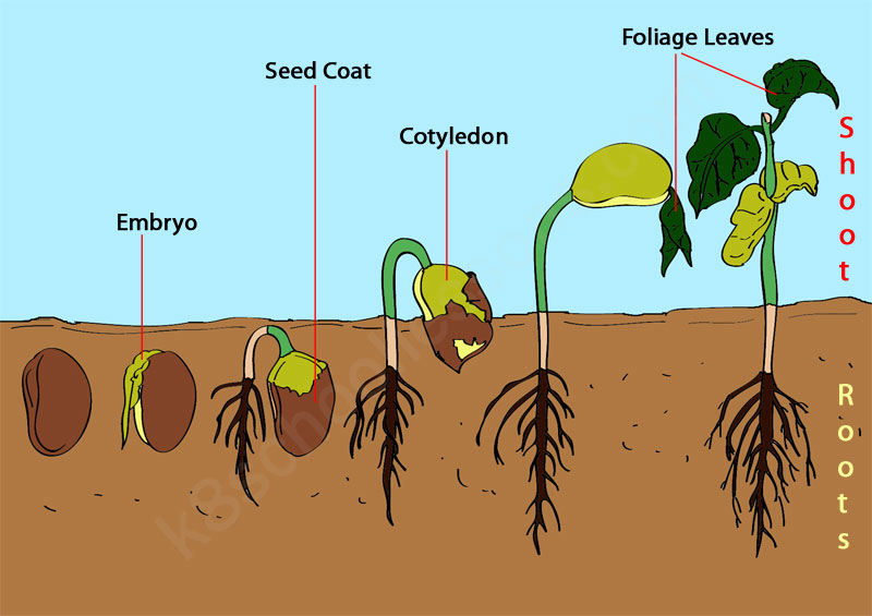 Seeds clipart stage Example for steps Germination kids