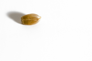Seed clipart wheat seed  Images Wheat Kernel Kernel