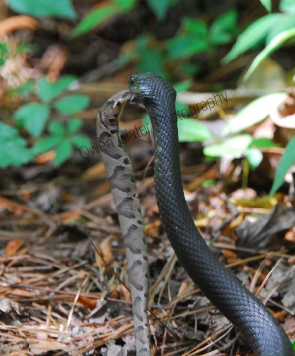 Serpent clipart black racer Local images of my Pinterest