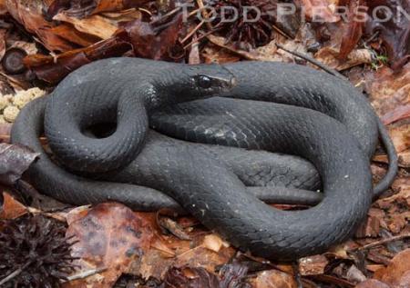 Serpent clipart black racer Black Black American Snake constrictor)