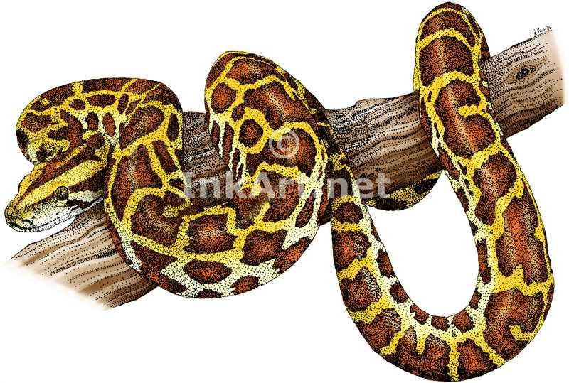 Drawn snake python snake Illustrations Find of of a