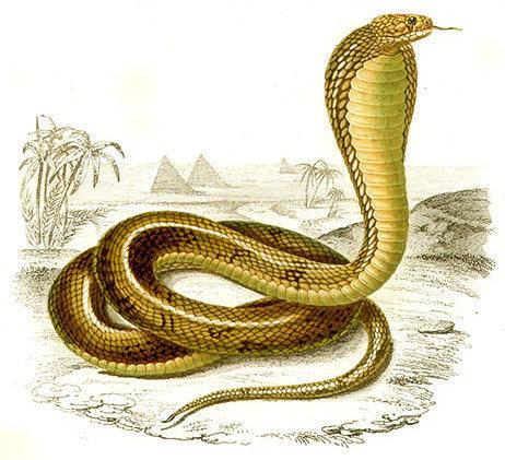 Serpent clipart kobra Image /animals/snake/cobra/Cobra_image html image Cobra