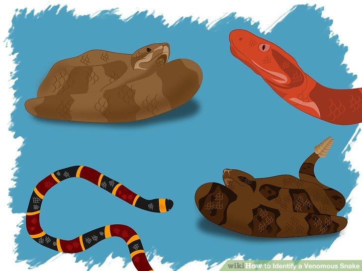 Serpent clipart little red Venomous Identify 4 Identify Step