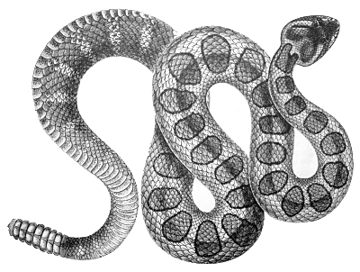 Rattlesnake clipart black and white #5