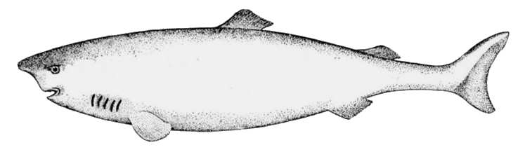 Bull Shark clipart sea animal To Clipart free of 1