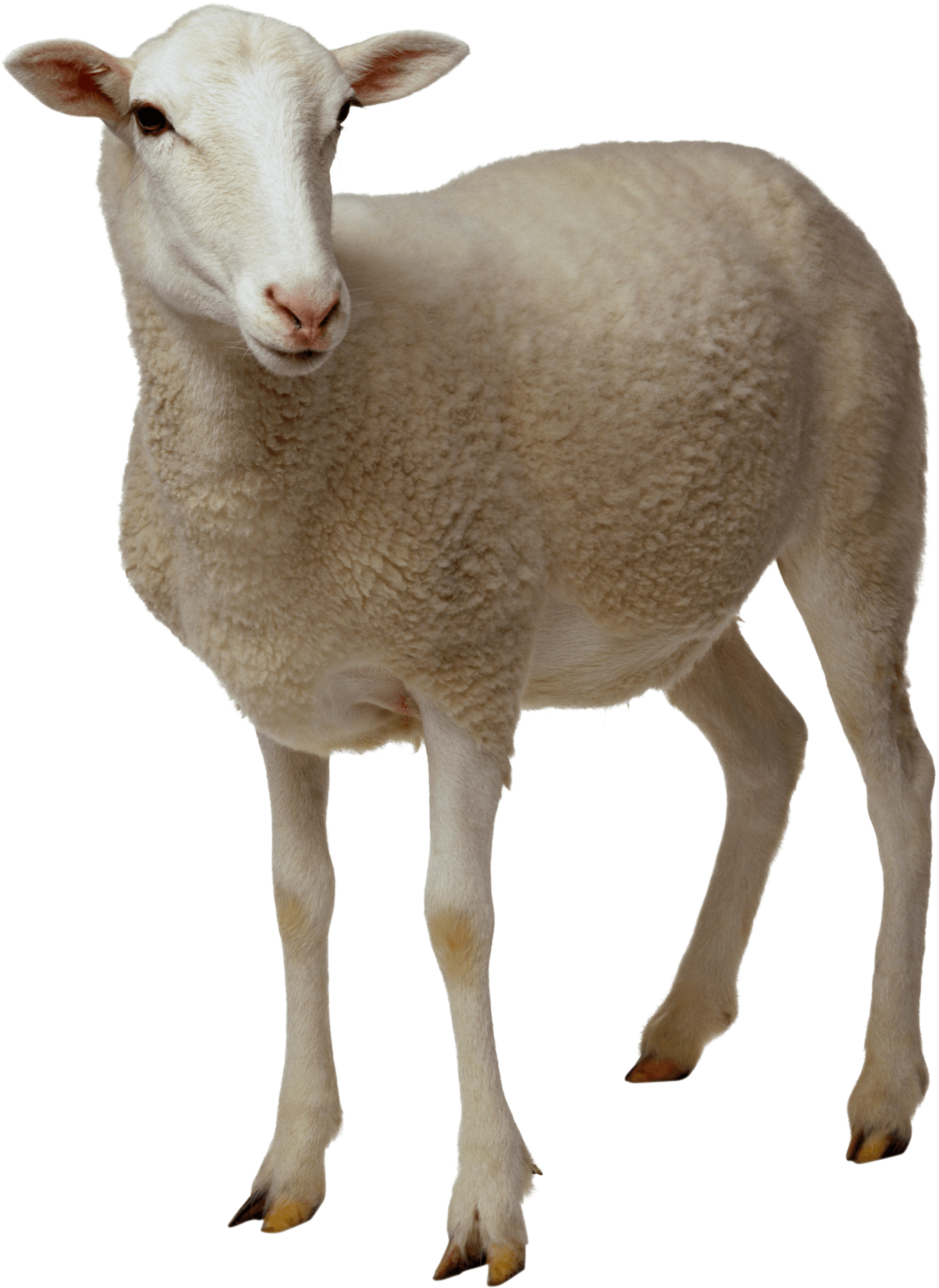 Sheep clipart mother and baby #7