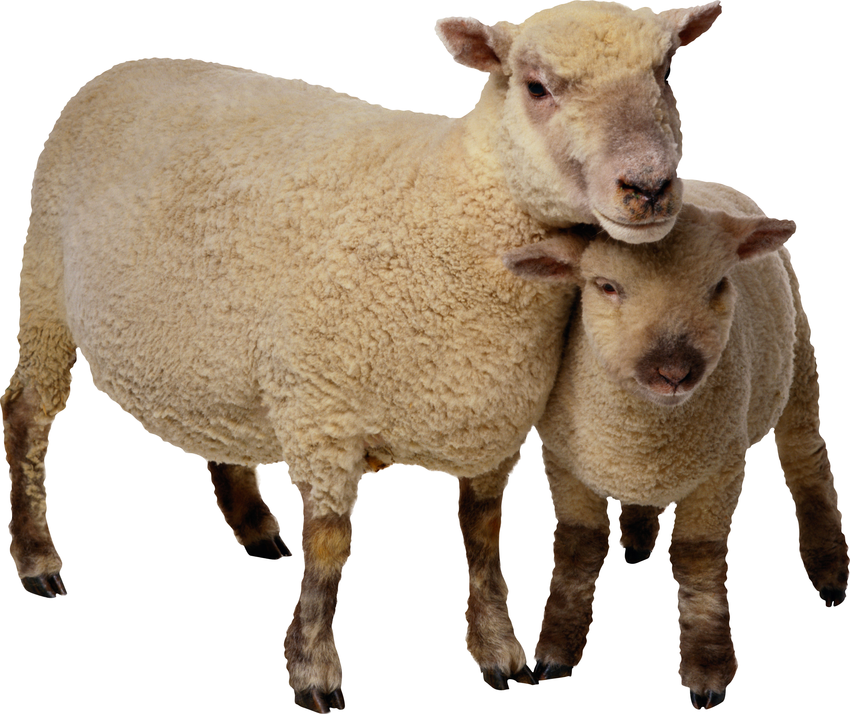 Sheep clipart mother and baby #3