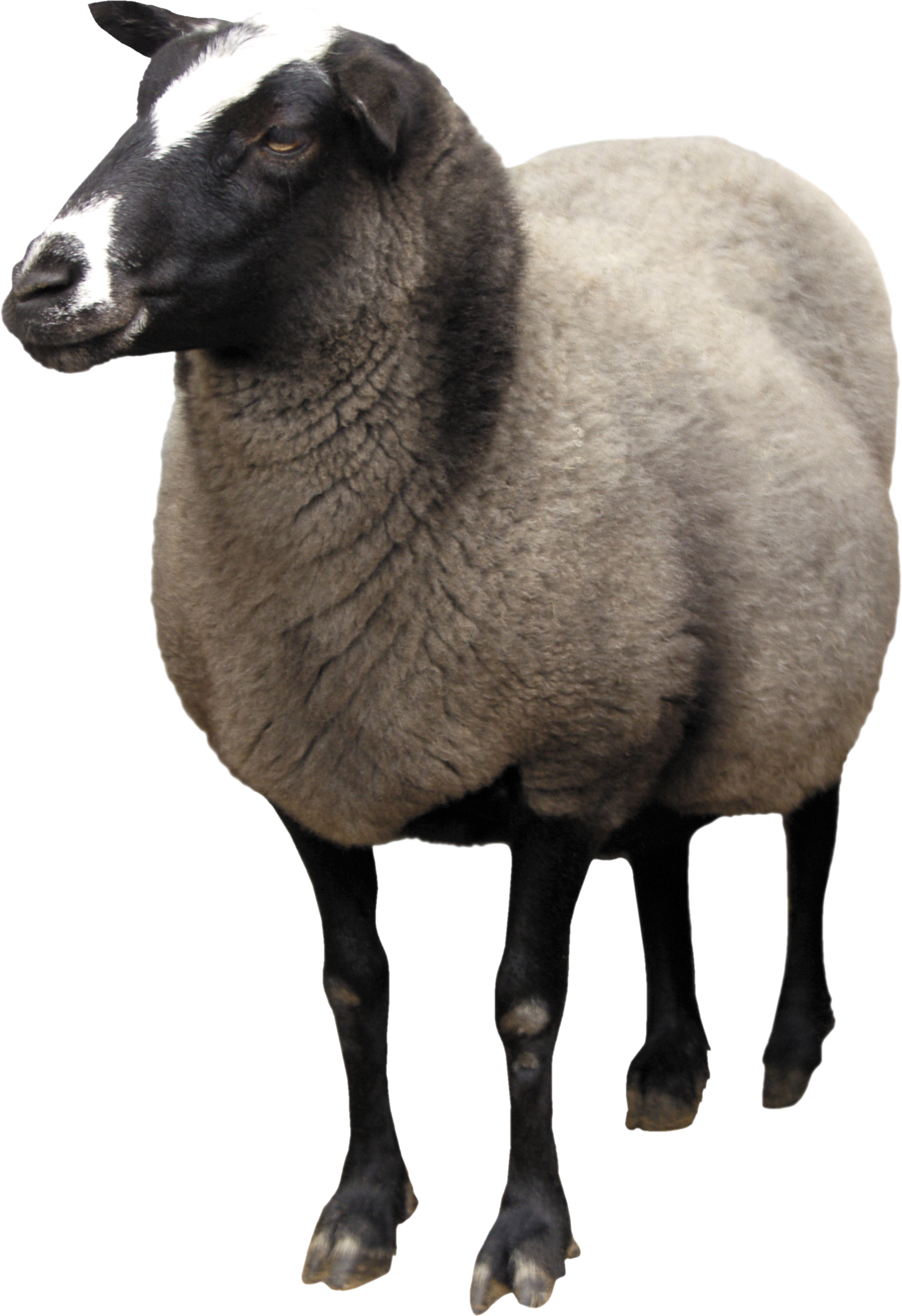 Sheep clipart real #12