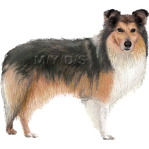Sheepdog clipart Sheltie art Shetland Sheepdog /