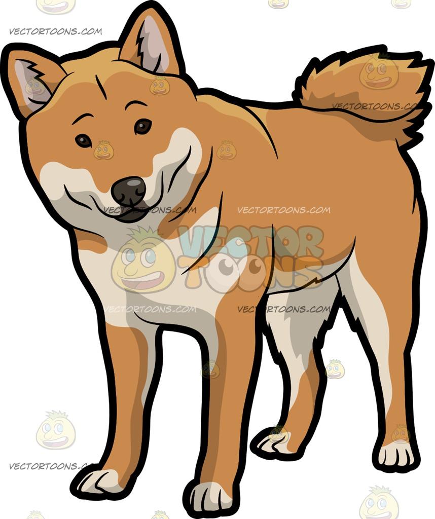 Shiba Inu clipart Shiba : dog Curious and