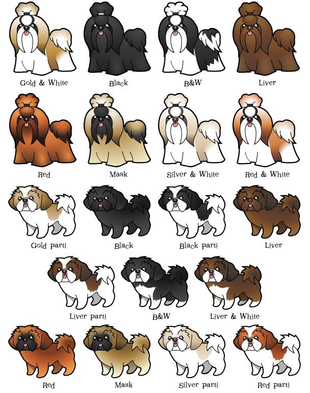 Shih Tzu clipart Shih Tzu's WEIGHT COLOR AND
