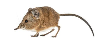 Shrew clipart Clipart shrew shrew Fans clipart
