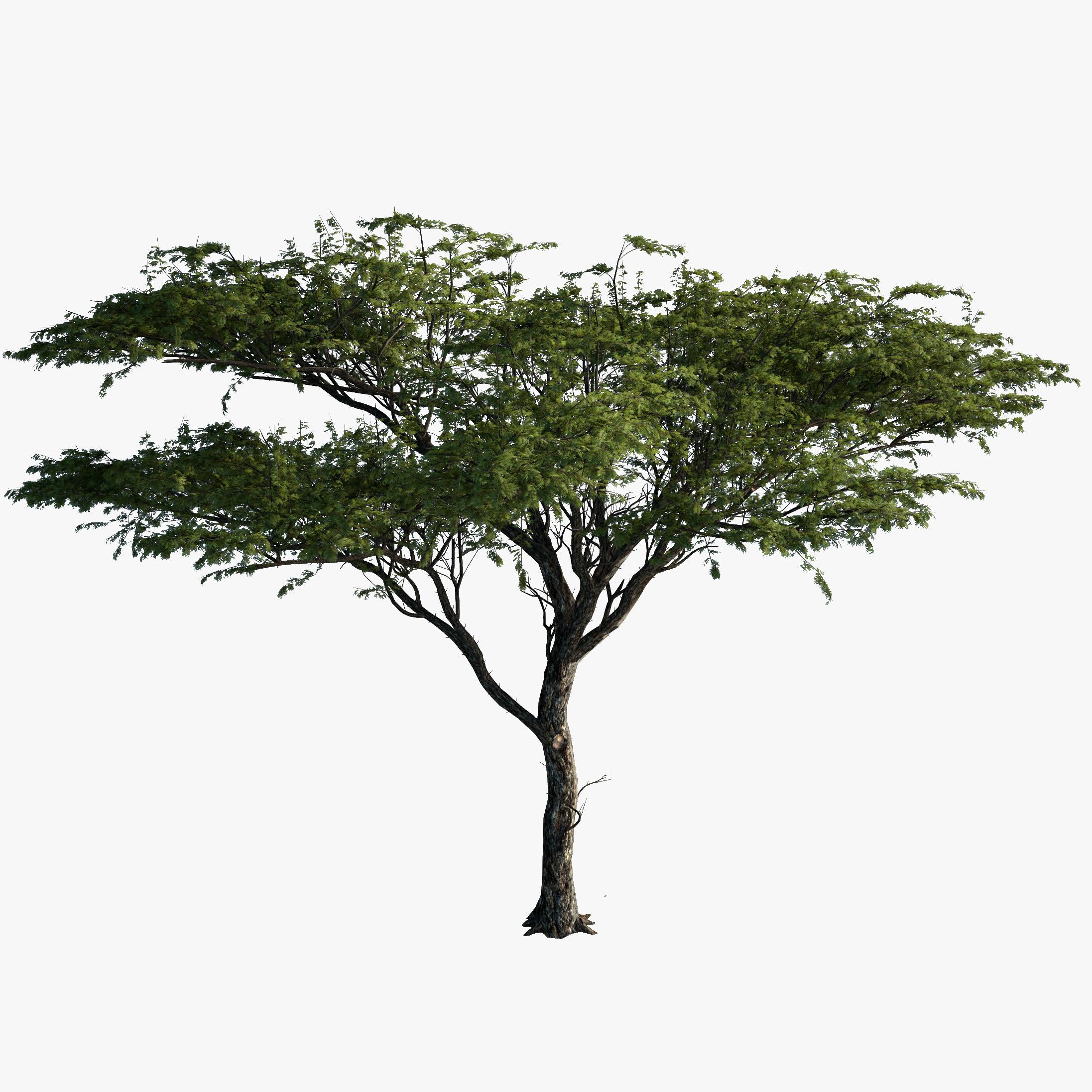 Realistic clipart acacia tree #5