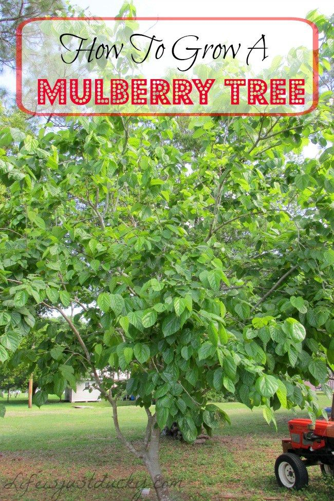 Shrub clipart mulberry bush Mulberry great A Grow plant
